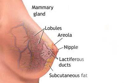 سرطان پستان،پیشگیری از سرطان پستان،قاعدگي زود رس،ماموگرافی،بهداشت بانوان