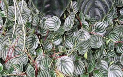 گل پپرومیا،پرورش گل پپرومیا،نگهداری از گل پپرومیا،پپرومیا ،تکثیر پپرومیا،خاک پیت،پپرومیا،گل و گیاه