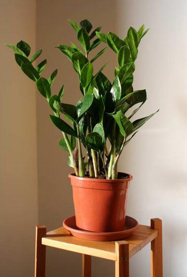 گل زامیفولیا,گیاه زامیفولیا,گل های آپارتمانی