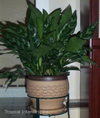 انواع گیاهان زینتی,انواع گیاهان آپارتمانی,گیاهان زینتی