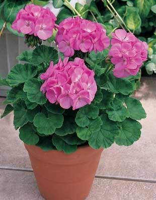گل شمعدانی, انواع گونه های گل شمعدانی, نحوه کاشت گل شمعدانی