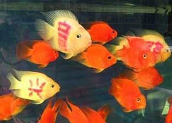 اخبار,اخبار گوناگون , ماهیهای تاتو شده