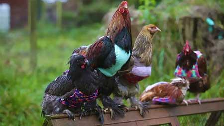 مرغ های پیرِ ژاکت پوش