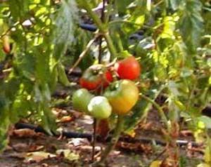 کاشت گلخانه ای گوجه, گوجه